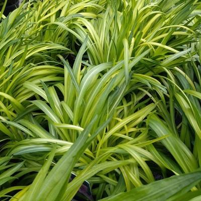 Lampenpoetser (Liatris spicata)