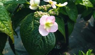 Berghortensia (Hydrangea serrata)