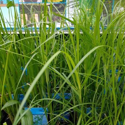 Palmzegge (Carex muskingumensis)