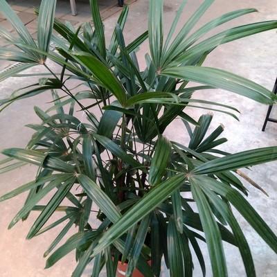 Bamboepalm (Rhapis excelsa)