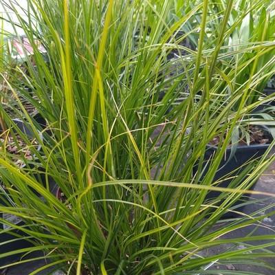 Carex brunnea