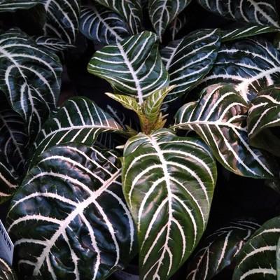 Zebraplant (Aphelandra squarrosa)