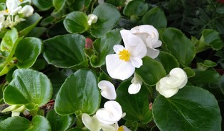 Waterbegonia (Begonia cucullata var. cucullata)