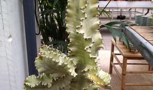 Euphorbia abyssinica