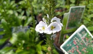 Gentiaanereprijs (Veronica gentianoides)