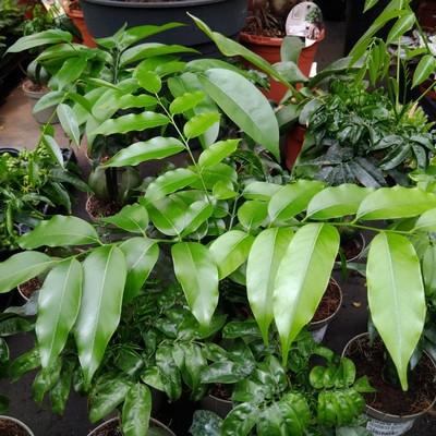 Australische kastanje (Castanospermum australe)