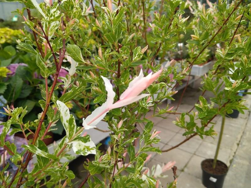 Bonte wilg (Salix integra)