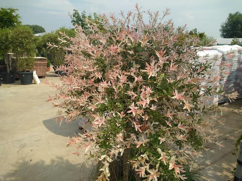 Japanse sierwilg (Salix integra)