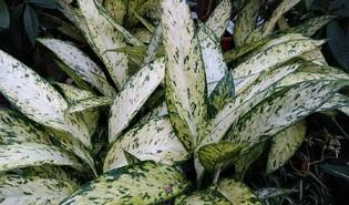 Dieffenbachia spp.