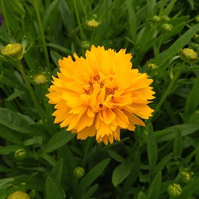 Meisjesogen (Coreopsis spp.)