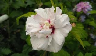 Tuinhibiscus (Hibiscus syriacus)