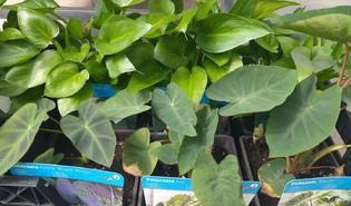 Taro (Colocasia esculenta)