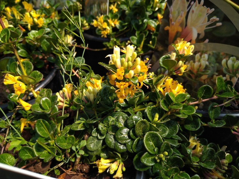 Dwergkamperfoelie (Lonicera crassifolia)
