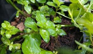 Gembermunt (Mentha × gracilis)