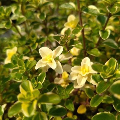 Grote wilde tijm (Thymus pulegioides)