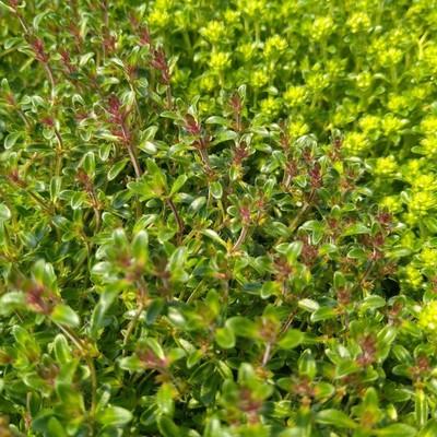 Kruiptijm (Thymus praecox)