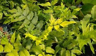 Grootbladige ijzervaren (Cyrtomium macrophyllum)