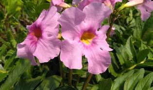 Tuingloxinia (Incarvillea delavayi)
