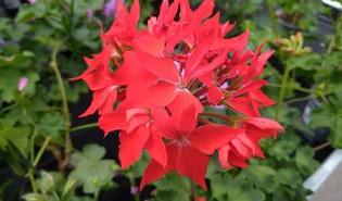 Staande geranium (Pelargonium zonale)