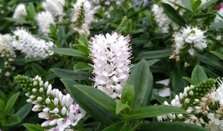 Dwerghebe (Veronica spp.)
