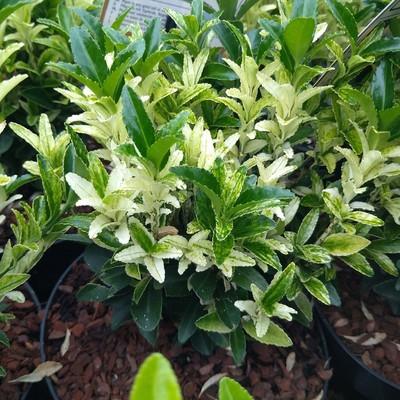 Japanse kardinaalsmuts (Euonymus japonicus)