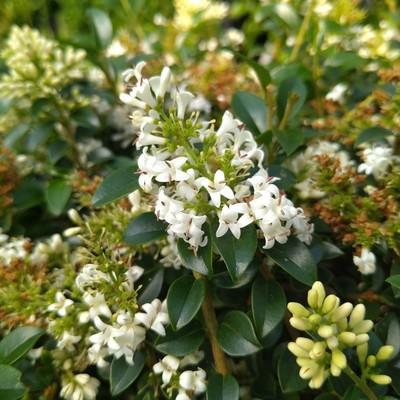 Bolliguster (Ligustrum delavayanum)