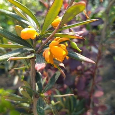Zuurbes (Berberis trigona)
