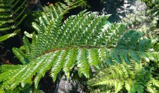 Glansschildvaren (Polystichum polyblepharum)