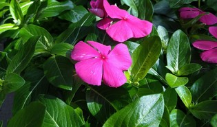 Roze maagdenpalm (Catharanthus roseus)