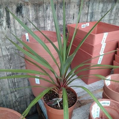 Koolpalm (Cordyline australis)