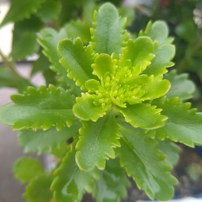 Kamtsjatka-vetkruid (Phedimus kamtschaticus)