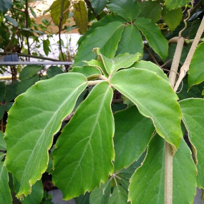 Kastanjedruif (Tetrastigma voinierianum)