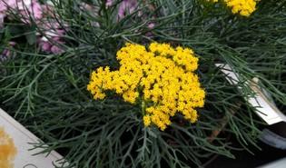 Honelia (Hymenolepis crithmifolia)