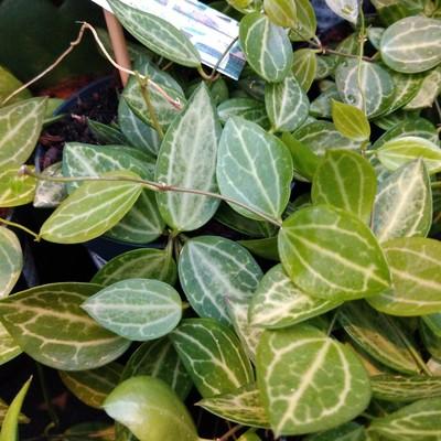 Watermeloendischidia (Dischidia ovata)