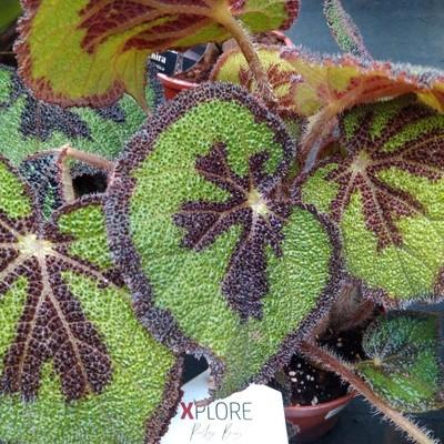 IJzerenkruisbegonia (Begonia masoniana)