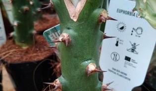 Euphorbia nivulia