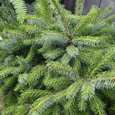 Servische spar (Picea omorika)