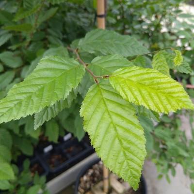 Gewone haagbeuk (Carpinus betulus)