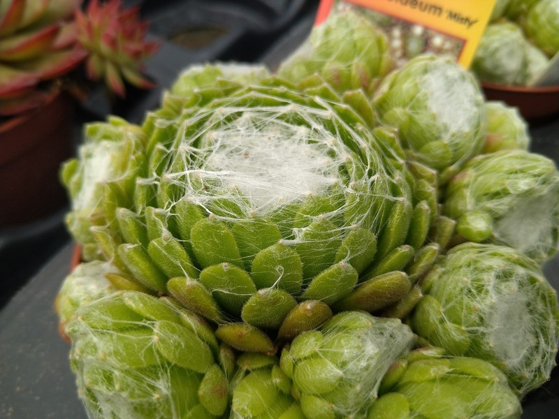 Spinnenwebhuislook (Sempervivum arachnoideum)