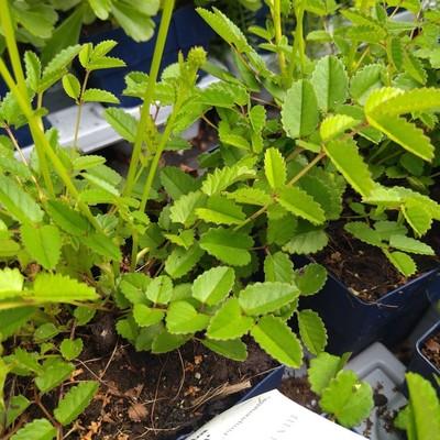 Grote pimpernel (Sanguisorba officinalis)