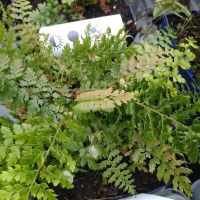 Zachte naaldvaren (Polystichum setiferum)