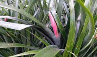Billbergia × windii