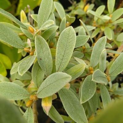 Zwitserse dwergwilg (Salix helvetica)