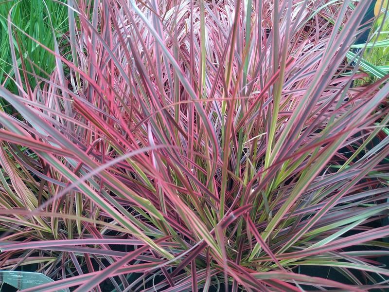 Lampenpoetsersgras (Cenchrus × cupreus)
