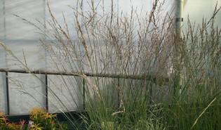 Pijpenstrootje (Molinia arundinacea)