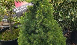 Witte spar (Picea laxa)
