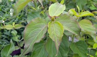 Grootmoeders oorbellen (Leycesteria formosa)