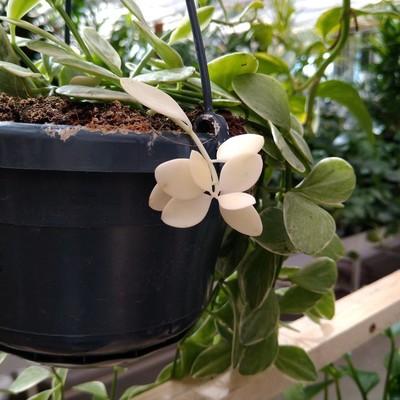 Mierenplant (Dischidia oiantha)