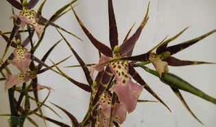 Spinorchidee (Brassia spp.)