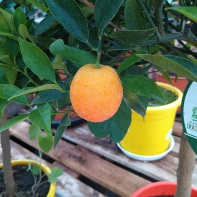 Clementine (Citrus × clementina)